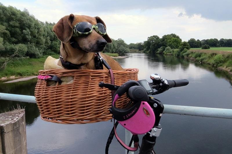 Pies w koszyku zamontowanym na rowerze marki Cossack